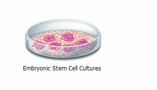 Embryonic Stem Cell Cultures
